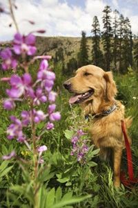 Dog-Safe Shade Perennials thumbnail