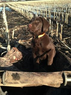 Starting my chocolate lab young