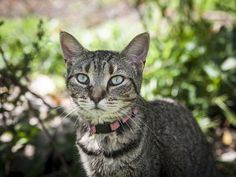 Basile is an adoptable Tabby - Brown searching for a forever family near Muncie, IN. Use Petfinder to find adoptable pets in your area.