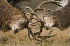 Going Stag by Simon Litten on 500px