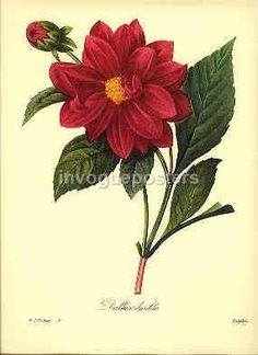 Redoute Vintage Botanical Print  red  Dalhia by InVoguePosters