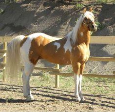 Cute palomino paint horse!