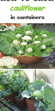 Growing Cauliflower, Cheesy Cauliflower, Cauliflower Vegetable, Hydroponic Gardening, Urban Gardening, Gardening Books, Container Gardening Vegetables, Indoor Vegetable Gardening, Growing Vegetables