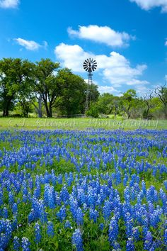 A country windmill in a meadow with bluebonnets in hill country near Castell, Texas, USA. Beautiful Sites, Beautiful Places, Beautiful Scenery, Texas Usa, Austin Texas, Dallas Texas, Texas Hill Country, West Texas, Old Windmills