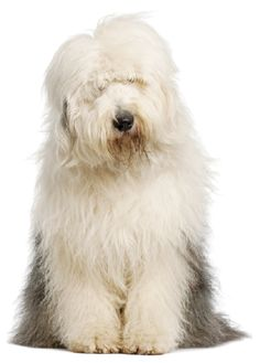 The Old English Sheepdog: the big, shaggy dog with a clown-like personality English Sheepdog Puppy, English Mastiff, Baby Puppies, Dogs And Puppies, Doggies, Best Dog Food, Best Dogs, Animals And Pets, Cute Animals