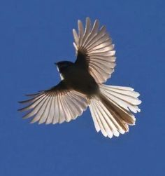 New Zealand Fantail. Tiny bird in flight. Jungian therapy