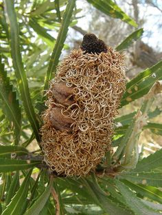 sleeping | Flickr - Photo Sharing!Banksia attenuata seed cone. This needs another year until it will open to release the seeds. No wonder we call them 'Banksia Men'!