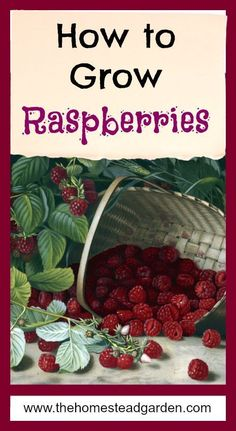 Garden Types How to Grow Raspberries – Gardening Garden Types, How To Garden, Fruit Garden, Edible Garden, Garden Plants, Garden Mesh, Apple Garden, Organic Vegetables, Fruits And Vegetables