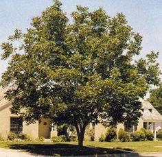 Pecan Tree Landscape Idea