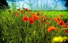 Обои картинки фото небо, тучи, поле, луг, цветы, маки, трава