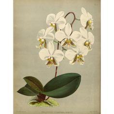 Phalenopsis Stuartiana Nobilis Orchid