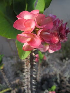 Euphorbia milii, commonly known as Crown of Thorns, a woody succulent species native to Madagascar.