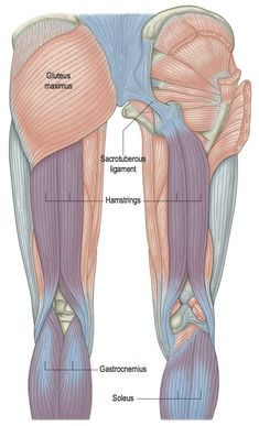 When we are working in the myofascia we are often looking for muscular events trigger points hypertonicity hypotonicity and knots in general. When we focus particularly on the fascial structure our appreciation must shift toward the fascial fabri Leg Anatomy, Human Body Anatomy, Human Anatomy And Physiology, Muscle Anatomy, Anatomy Study, Anatomy Reference, Anatomy Back, Trigger Points, Medical Science