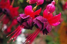 St Ives, Fuchsia Flower. by JoshHiggins
