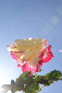 Double Delight Tea Rose Hybrid.