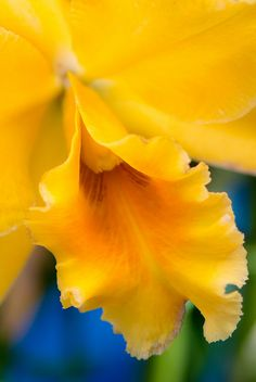 Golden Orchid - Close-Up  Golden 2013 Orchid by shinichiro* on Flickr     via  Elezabete Guima