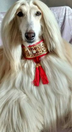 Afghan hound looking regal in a jeweled collar. Note. This wide collar is the safest type to use on all narrow necked breeds.