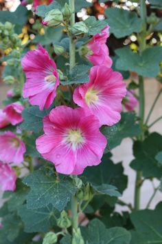 My hollyhocks have s