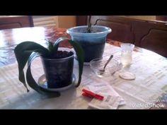 Необычная внекорневая подкормка орхидеи - YouTube