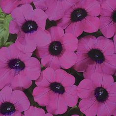Blanket® Purple - Petunia hybrid | Proven Winners-attracts butterflies and hummingbirds