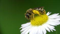 Lo más seguro es que, al pensar en una abeja, venga a tu mente la imagen de una colonia de insectos bien organizada, al amparo de un panal formado por celdas de cera perfectamente delimitadas y rep...