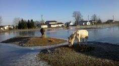 """We had so much rain during the winter months of 2011, The animals had been cooped up for days...I let them out for a little while to stretch their legs...thankfully we had a couple of islands. I call this picture """"Bliss on Donkey Island"""""""