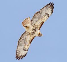 Red-tailed hawk (B. jamaicensis borealis). #hawk #birds