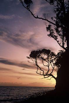 Pohutukawa at sunset, south coast near Awaroa Point, Little Barrier Island. What A Wonderful World, South Island, Native Plants, Wonders Of The World, Sunsets, Silhouettes, New Zealand, Planting Flowers, Islands
