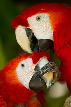 Shhh! Let me scratch your head. When macaws choose mates, they typically stay together for life. (photo: Brian Connolly)