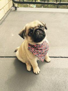 Ernest's Social Pug Profile | www.thepugdiary.com