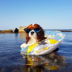 Some of the things we all like about the Smart Cavalier King Charles Spaniel Pu… Einige der Dinge, die wir alle an den Smart Cavalier King Charles Spaniel Pups mögen King Charles Puppy, Cavalier King Charles Dog, Cute Puppies, Cute Dogs, Cavalier King Spaniel, Sweet Dogs, Spaniel Puppies, Beautiful Dogs, Dog Love