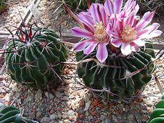 Echinofossulocactus nerispinus