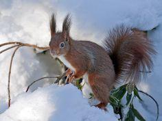 Eichhörnchen Nagetiere Säugetiere schnee Wildlife winter