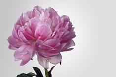 Peony, Blossom, Bloom, Pink, White