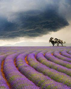 Champs de lavande sous ciel orageux
