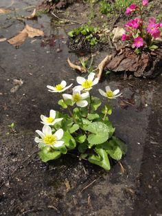 """Sumpf-Dotterblume (Caltha-palustris) in der deutlich schwachwüchsigeren Form """"Alba"""""""