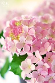 Pink hydrangea.  Gorgeous!  I only plant things that will bloom all season, but I like to look at other people's hydrangeas.