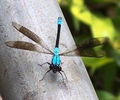 Dragonfly Pictures - Tropical Rockmaster