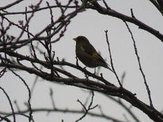 カワラヒワ. Greenfinch on a  tree. 17 February 2017.