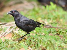 Piapiac (Ptilostomus afer) | Ho; Ada (Ghana)