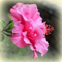 In full bloom ~ Hibiscus