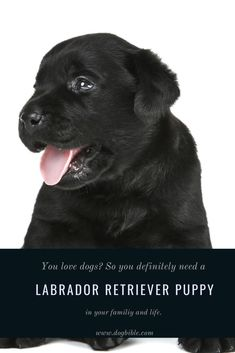The history of the Labrador Retriever goes back several centuries. When great sailors like Christopher Columbus sailed the oceans and discovered new continents, they also arrived in Newfoundland on the eastern coast of Canada. The Italian Giovanni Caboto went down in history as its discoverer. Numerous settlers set out to find their fortune in the New World. Labrador Breed, Labrador Retriever, Guide Dog, Medium Sized Dogs, Bloodhound, Therapy Dogs, Christopher Columbus, Family Dogs, Working Dogs