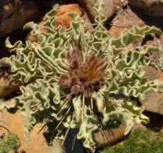 Pachpodium Namaquanum flowerbuds and leaves            Elephants Trunk       Halfmens        S A no 649