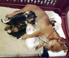 cute foster dog mama adopts orphan kittens