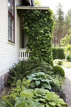 Boxwood, hostas, fern and pipevine. I like the ferns in the background and the climber