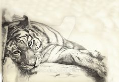 tiger by ellastasia on DeviantArt