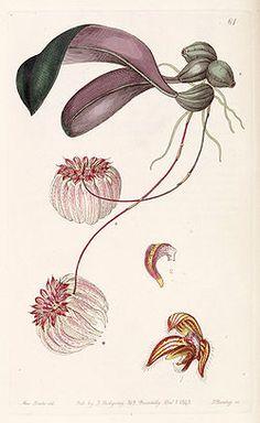 Bulbophyllum auratum (as Cirrhopetalum auratum) - Edwards vol 29 (NS 6) pl 61 (1843).jpg
