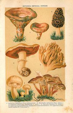 1892  Mushrooms Vintage Botanical Print Fungi Antique by carambas,