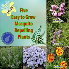 Farming & Agriculture: 5 Easy to Grow Mosquito Repelling Plants