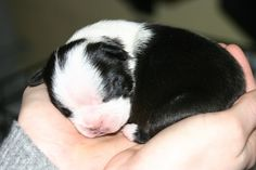 Boston Terrier - The Rocking Puppy.  I had five of these little sweeties all at once! I could have held each of them for hours if I would have had the time....  cutie patooty!
